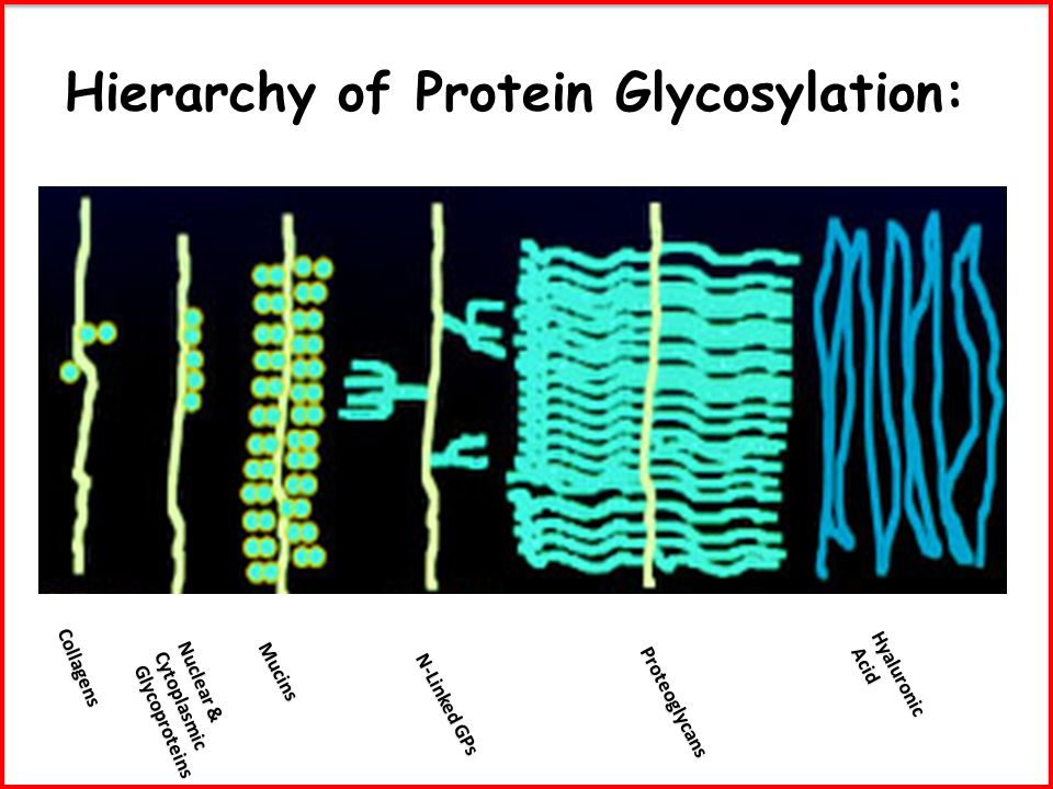 Hierarchy of Protein Glycosylation: Nuclear & Cytoplasmic Glycoproteins Glycoproteins Collagens Mucins N-Linked GPs Proteoglycans Hyaluronic Acid Acid