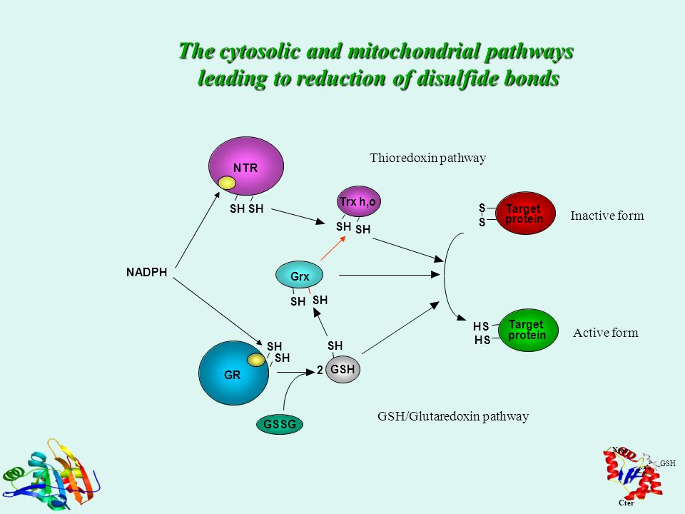 The cytosolic and mitochondrial pathways leading to reduction of disulfide bonds NADPH SH NTR Trx h,o Thioredoxin pathway HS S S Target protein Target