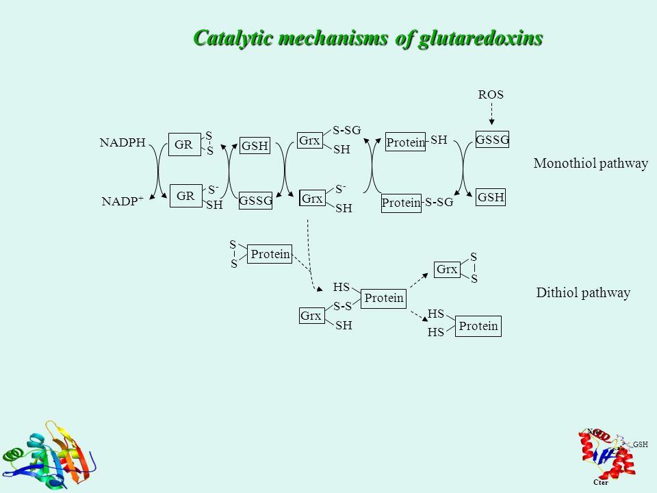 SH GSH GSSG GR Grx GR S S NADP + NADPH S-S- SH S-S- Grx S-SG GSH GSSG SH S-SG Protein ROS Monothiol pathway Dithiol pathway S S Grx Protein SH HS Prot