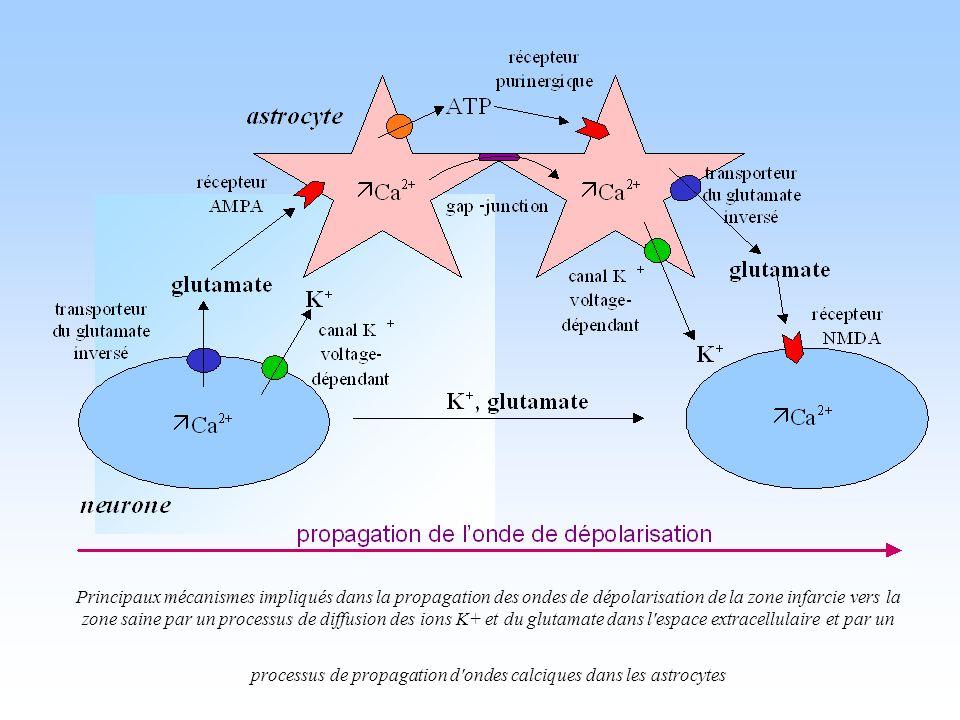 Principaux mécanismes impliqués dans la propagation des ondes de dépolarisation de la zone infarcie vers la zone saine par un processus de diffusion des ions K+ et du glutamate dans l espace extracellulaire et par un processus de propagation d ondes calciques dans les astrocytes