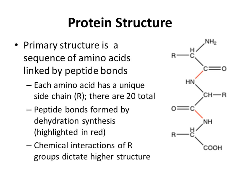 Protein Structure Primary structure is a sequence of amino acids linked by peptide bonds – Each amino acid has a unique side chain (R); there are 20 total – Peptide bonds formed by dehydration synthesis (highlighted in red) – Chemical interactions of R groups dictate higher structure