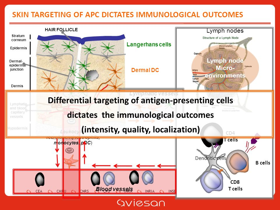 CEACHRUCNRSCPUINRAINRIAINSERMINSTITUT PASTEURIRD SKIN TARGETING OF APC DICTATES IMMUNOLOGICAL OUTCOMES B cells CD4 T cells CD8 T cells Dendritic cells Lymph nodes Stratum corneum Epidermis Dermis Hypodermis Lymphatic and blood capillary vessels Dermal- epidermal junction HAIR FOLLICLE Blood vessels Leukocytes recruitment(neutrophils, monocytes, pDC) Lymphatic vessels Differential targeting of antigen-presenting cells dictates the immunological outcomes (intensity, quality, localization) Langerhans cells Dermal DC Lymph node Micro- environments Lymph node Micro- environments