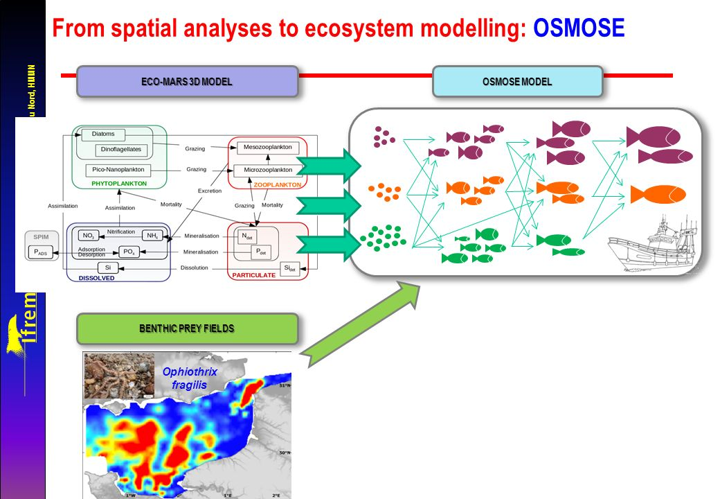 Unité Halieutique Manche-Mer du Nord, HMMN From spatial analyses to ecosystem modelling: OSMOSE OSMOSE MODEL ECO-MARS 3D MODEL BENTHIC PREY FIELDS Ophiothrix fragilis