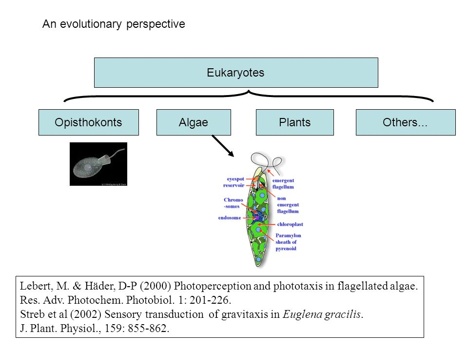An evolutionary perspective Eukaryotes OpisthokontsAlgaePlantsOthers... Lebert, M. & Häder, D-P (2000) Photoperception and phototaxis in flagellated a