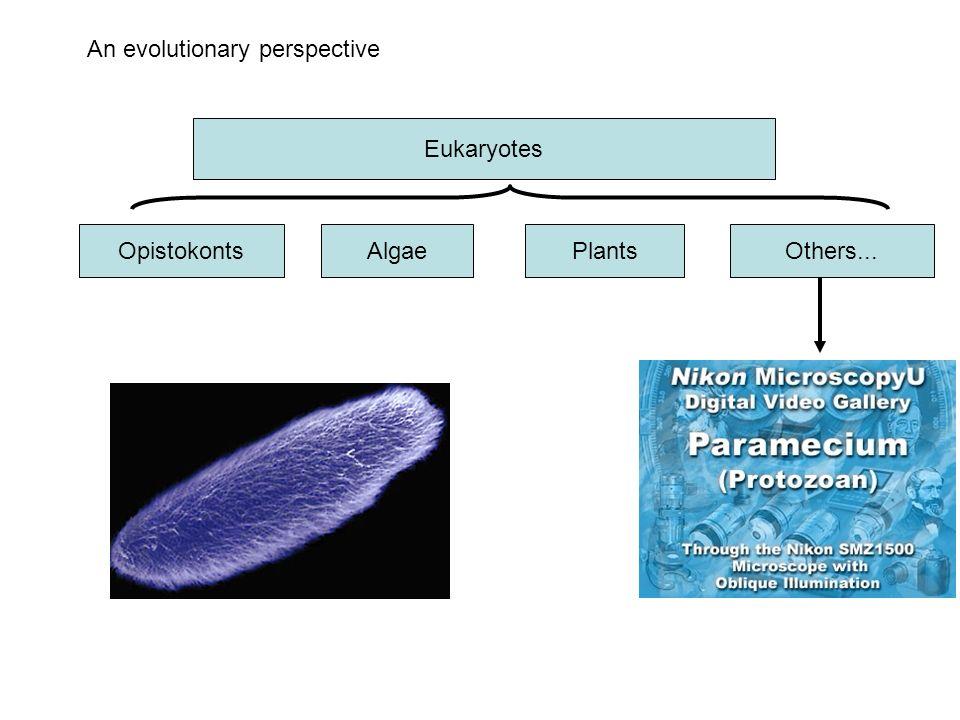 An evolutionary perspective Eukaryotes OpistokontsAlgaePlantsOthers...