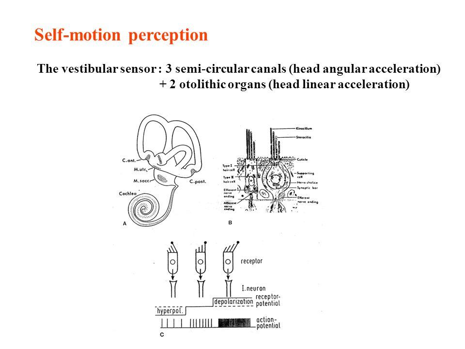 Self-motion perception The vestibular sensor : 3 semi-circular canals (head angular acceleration) + 2 otolithic organs (head linear acceleration)