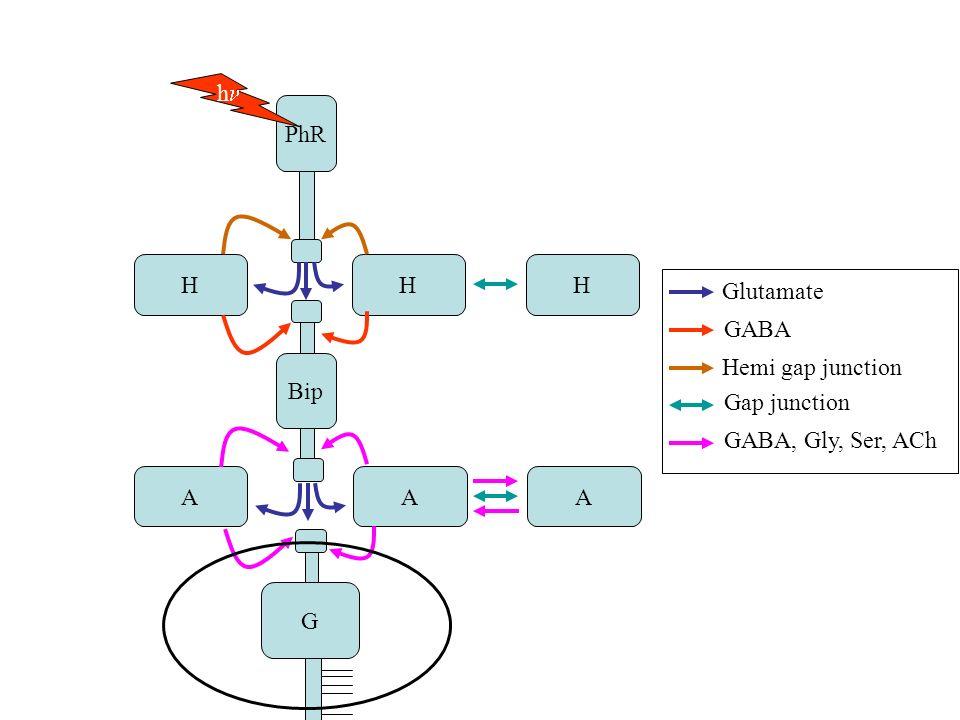 PhR Bip G HHH AAA h Glutamate GABA Hemi gap junction Gap junction GABA, Gly, Ser, ACh