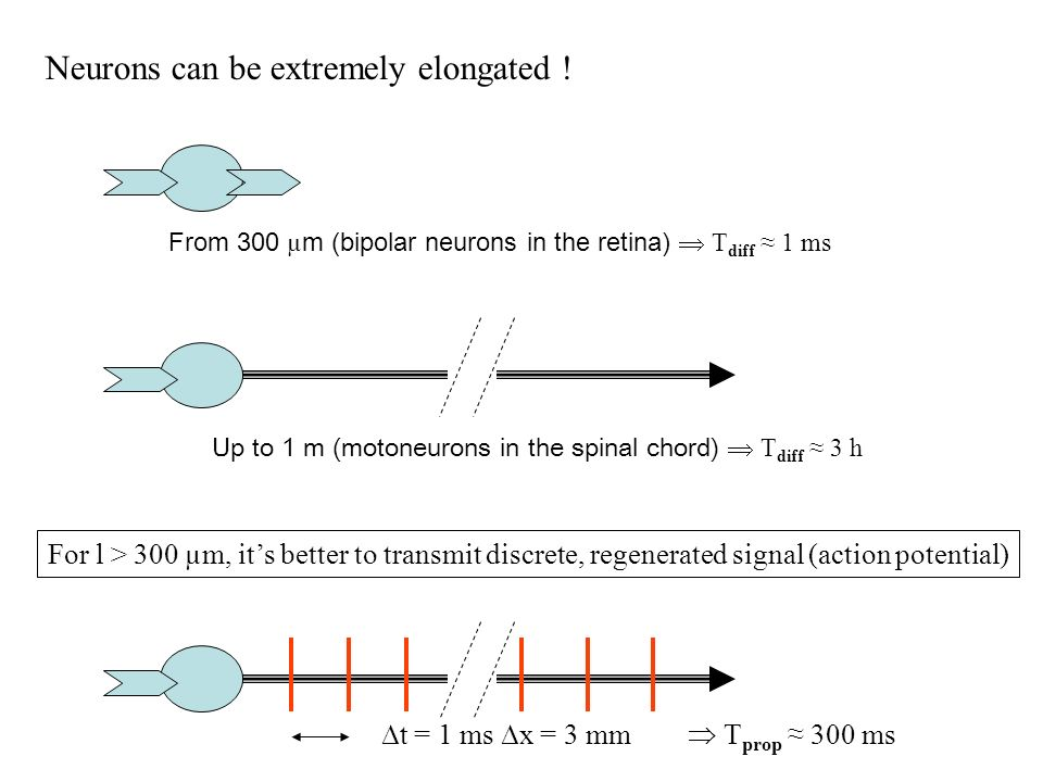 Neurons can be extremely elongated .