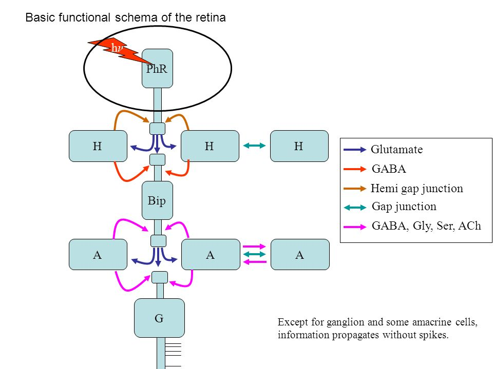 Basic functional schema of the retina PhR Bip G HHH AAA h Glutamate GABA Hemi gap junction Gap junction GABA, Gly, Ser, ACh Except for ganglion and some amacrine cells, information propagates without spikes.