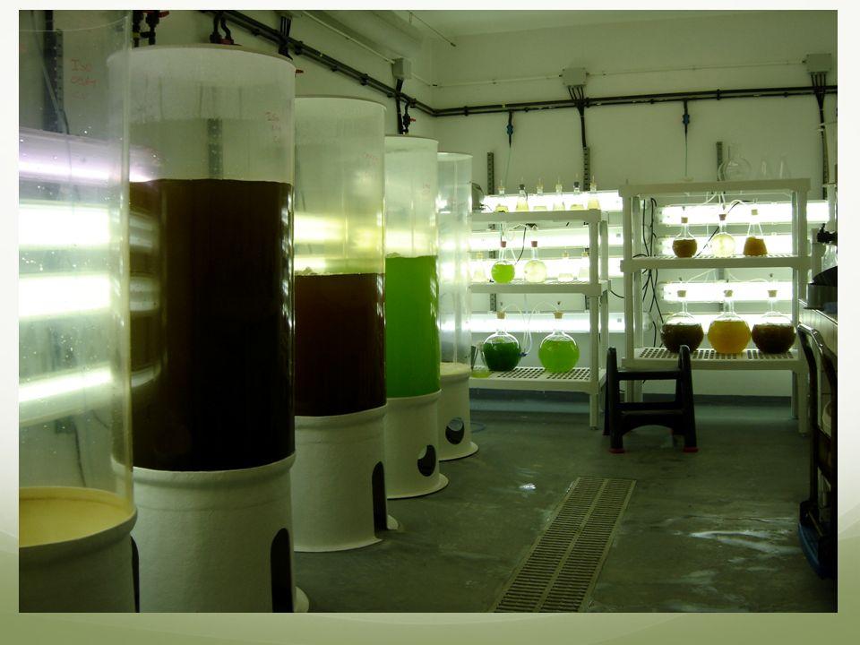 Usual culture Suspension in a photobioreactors Concentration: 0.1-1g/L Harvest by sedimentation or floculation, then centrifugation