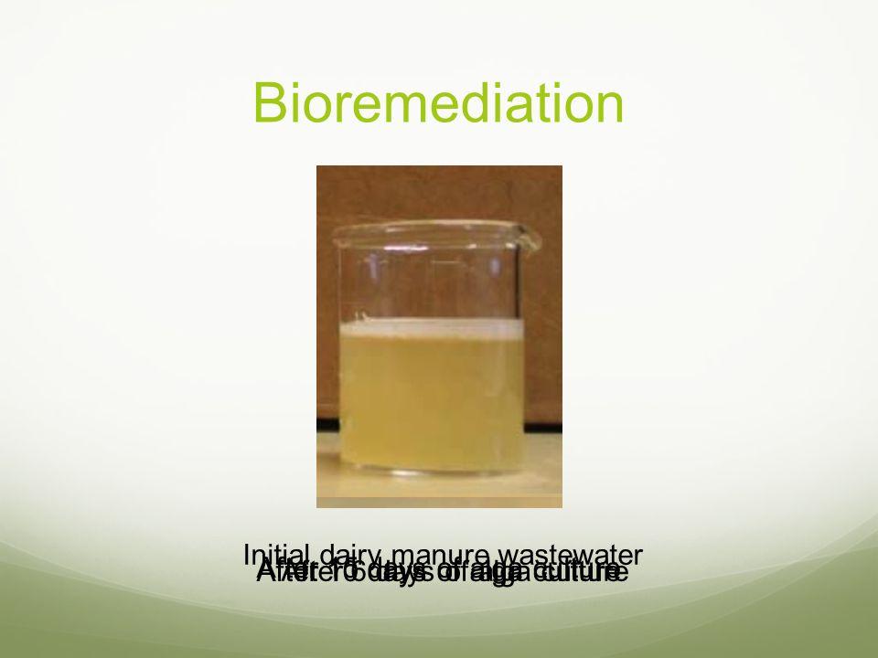 Bioremediation Initial dairy manure wastewater After 6 days of alga culture After 10 days of alga culture After 15 days of alga culture