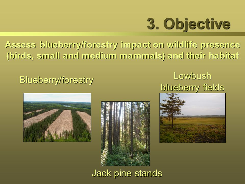 3. Objective Assess blueberry/forestry impact on wildlife presence (birds, small and medium mammals) and their habitat Blueberry/forestry Jack pine st
