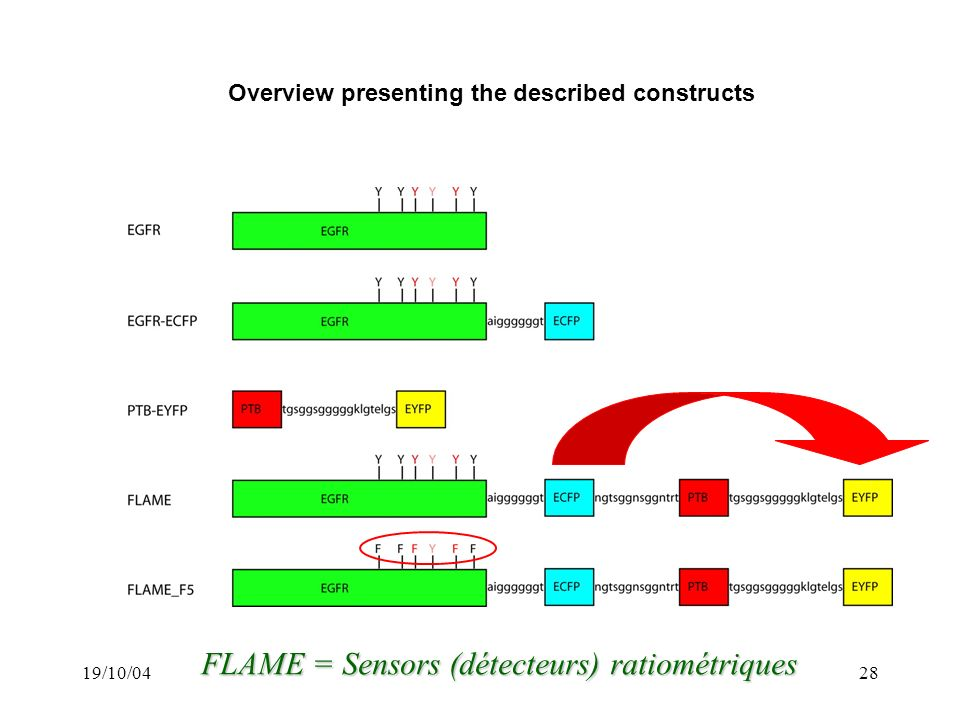 19/10/0428 Overview presenting the described constructs FLAME = Sensors (détecteurs) ratiométriques