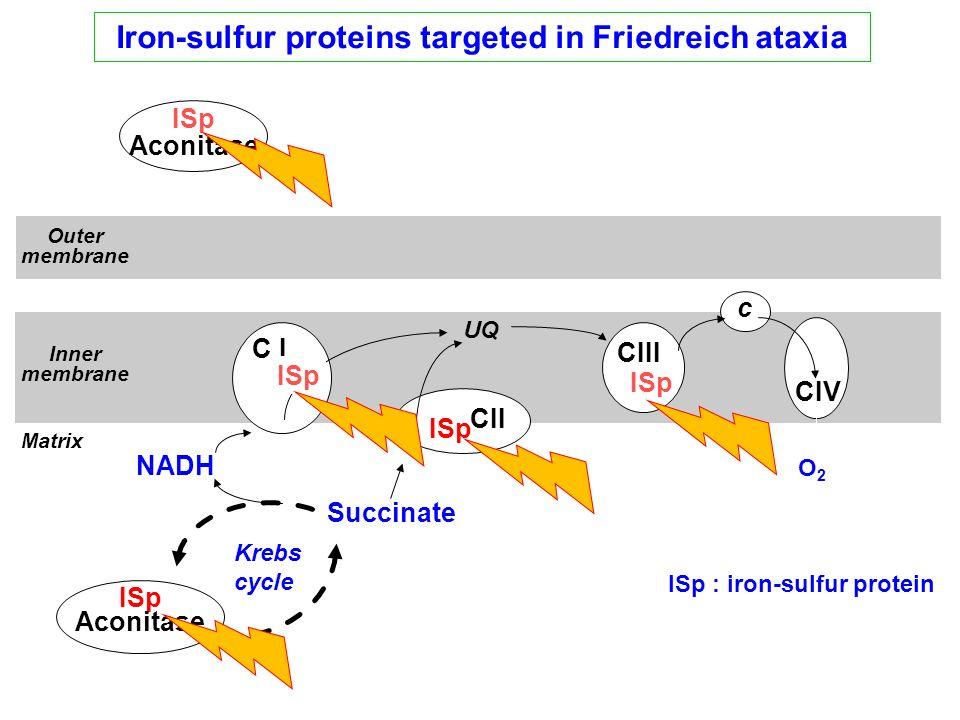 Iron-sulfur proteins targeted in Friedreich ataxia UQ C I CII CIII CIV c Succinate NADH O2O2 ISp ISp : iron-sulfur protein Inner membrane Outer membra