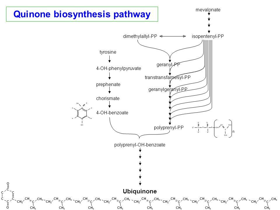 Ubiquinone Quinone biosynthesis pathway mevalonate isopentenyl-PPdimethylallyl-PP tyrosine 4-OH-benzoate chorismate prephenate 4-OH-phenylpyruvate pol