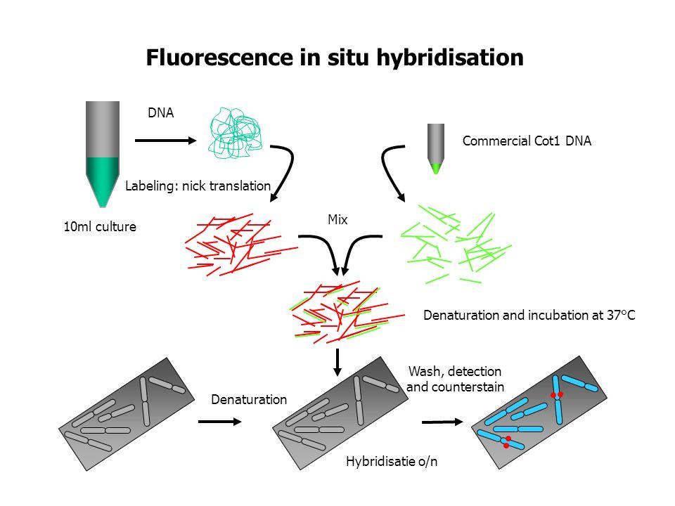Fluorescence in situ hybridisation Labeling: nick translation DNA Denaturation and incubation at 37°C Mix Denaturation Hybridisatie o/n Commercial Cot