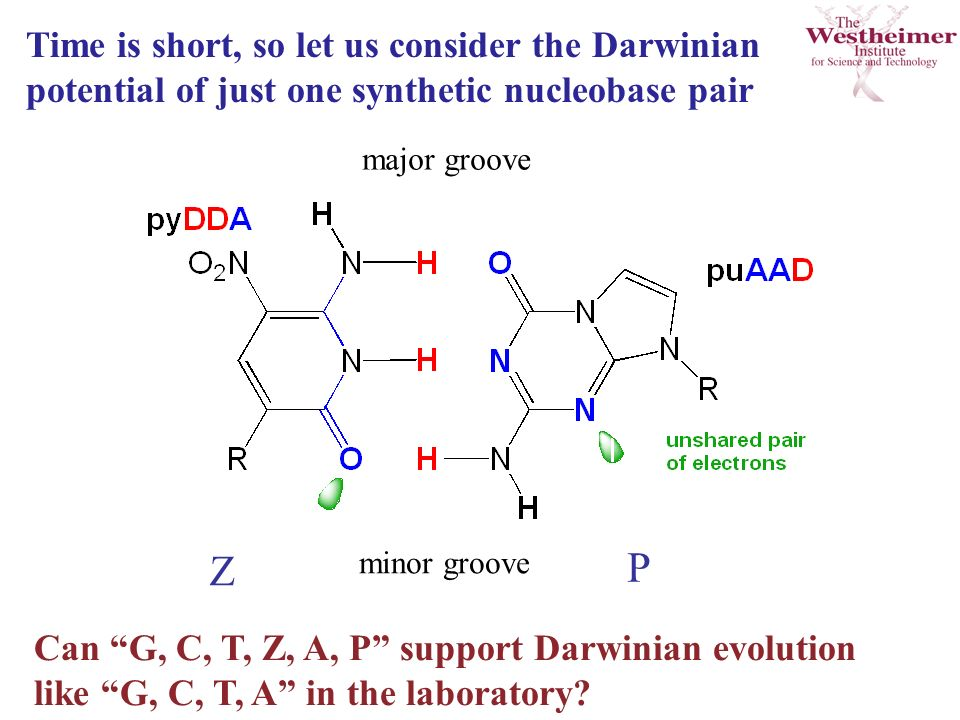 Time is short, so let us consider the Darwinian potential of just one synthetic nucleobase pair minor groove major groove Z P Can G, C, T, Z, A, P support Darwinian evolution like G, C, T, A in the laboratory
