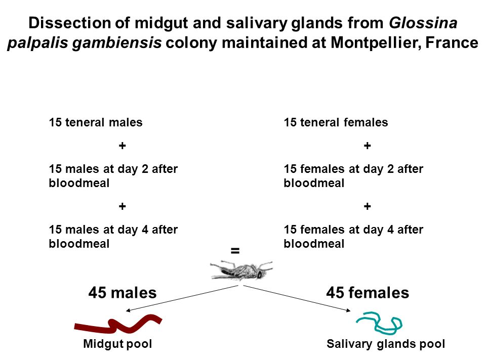 Dissection of midgut and salivary glands from Glossina palpalis gambiensis colony maintained at Montpellier, France 15 teneral males + 15 males at day 2 after bloodmeal + 15 males at day 4 after bloodmeal 45 males 15 teneral females + 15 females at day 2 after bloodmeal + 15 females at day 4 after bloodmeal 45 females Midgut pool Salivary glands pool =