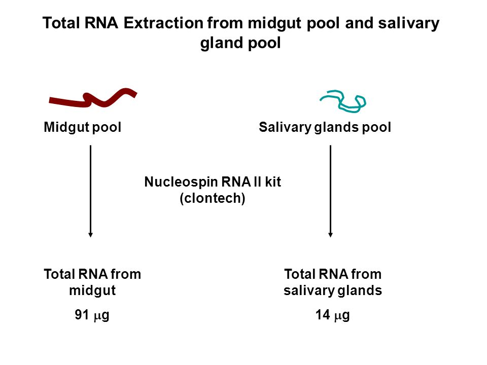 Total RNA Extraction from midgut pool and salivary gland pool Midgut poolSalivary glands pool Nucleospin RNA II kit (clontech) Total RNA from midgut 91 g Total RNA from salivary glands 14 g