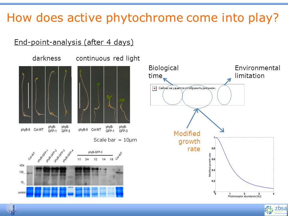How does active phytochrome come into play? darknesscontinuous red light End-point-analysis (after 4 days) Scale bar = 10μm Biological time Modified g