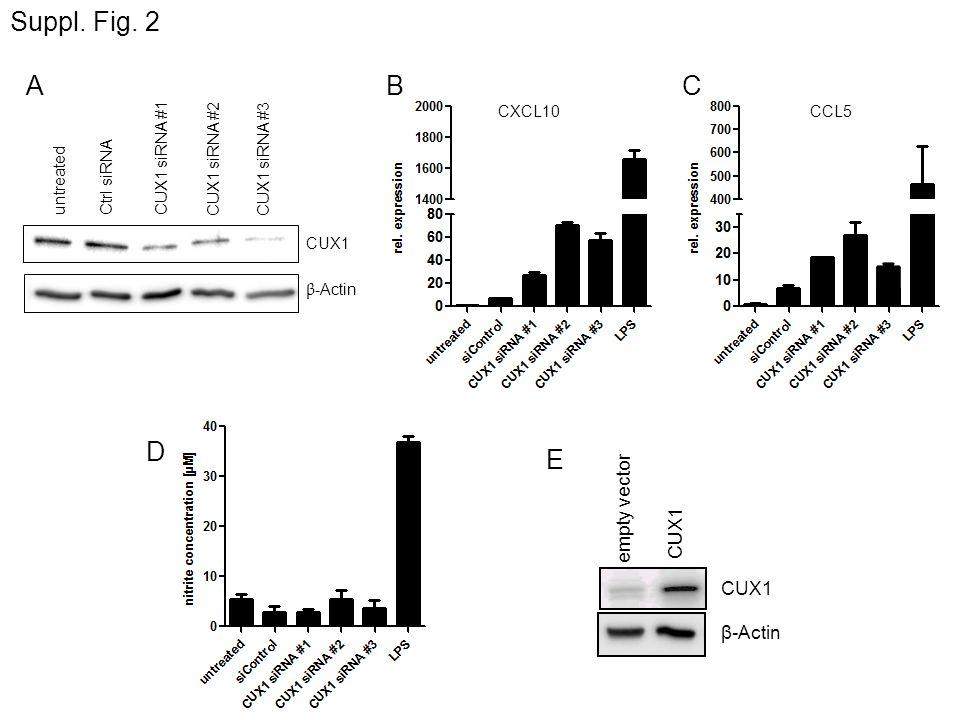 A Suppl. Fig. 2 empty vector CUX1 β-Actin E D CUX1 β -Actin untreatedCtrl siRNACUX1 siRNA #1 CUX1 siRNA #2 CUX1 siRNA #3 BC CXCL10CCL5