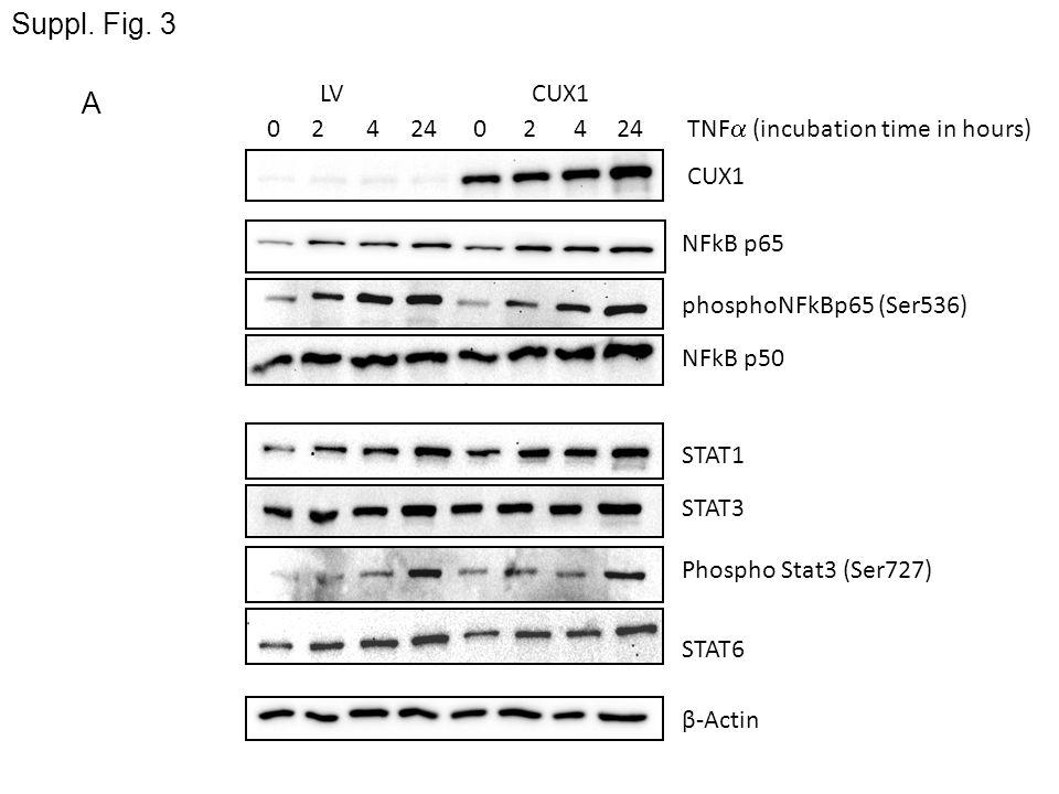NFkB p65 0 2 4 24 LVCUX1 CUX1 STAT1 β-Actin STAT3 STAT6 NFkB p50 Phospho Stat3 (Ser727) phosphoNFkBp65 (Ser536) A Suppl. Fig. 3 TNF (incubation time i