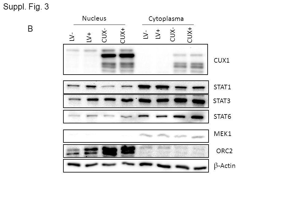 β -Actin STAT1 STAT3 STAT6 LV- LV+CUX- CUX+ LV-LV+ CUX- CUX+ Nucleus Cytoplasma CUX1 MEK1 ORC2 B Suppl. Fig. 3