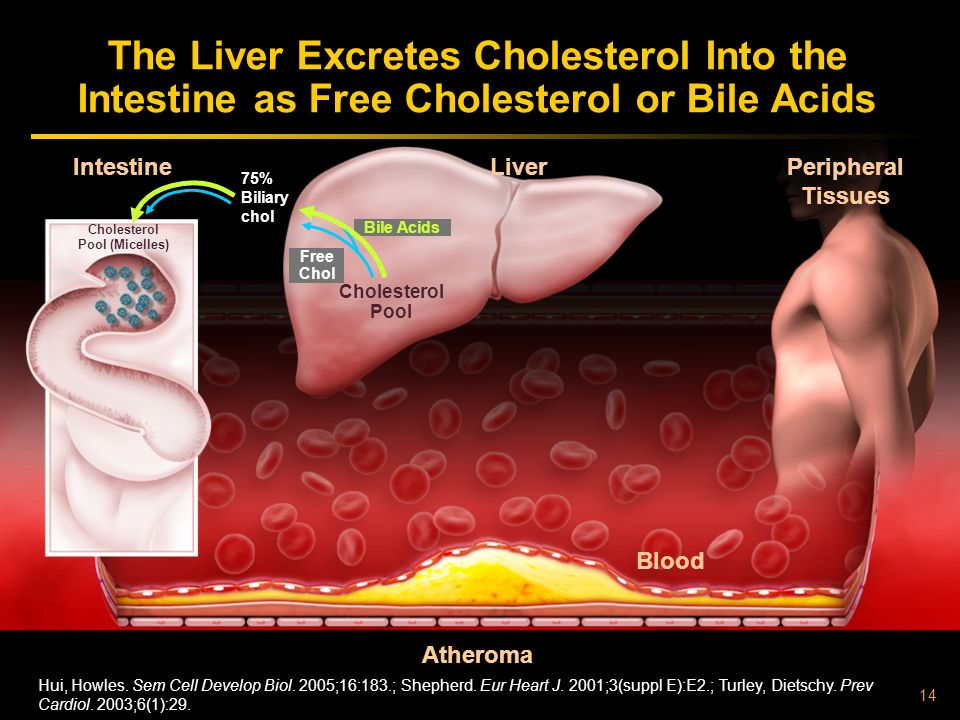 14 Atheroma Liver Intestine Cholesterol Pool Peripheral Tissues The Liver Excretes Cholesterol Into the Intestine as Free Cholesterol or Bile Acids Free Chol Bile Acids Cholesterol Pool (Micelles) 75% Biliary chol Hui, Howles.
