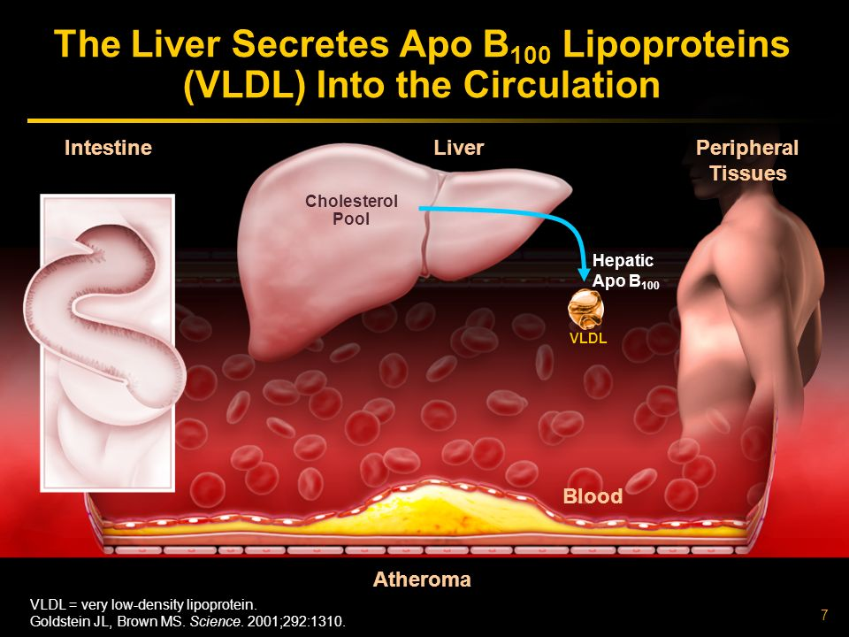 7 Atheroma Liver Intestine The Liver Secretes Apo B 100 Lipoproteins (VLDL) Into the Circulation VLDL Cholesterol Pool VLDL = very low-density lipoprotein.