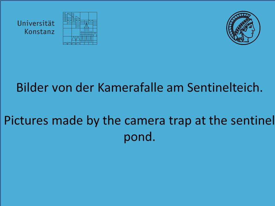 Bilder von der Kamerafalle am Sentinelteich. Pictures made by the camera trap at the sentinel pond.