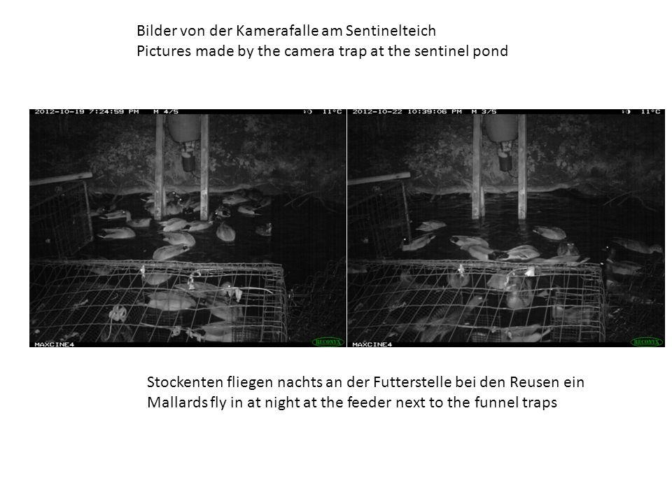 Bilder von der Kamerafalle am Sentinelteich Pictures made by the camera trap at the sentinel pond Stockenten fliegen nachts an der Futterstelle bei den Reusen ein Mallards fly in at night at the feeder next to the funnel traps