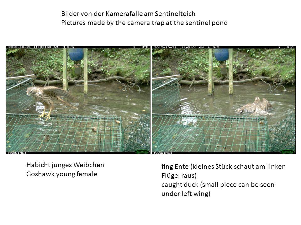 Bilder von der Kamerafalle am Sentinelteich Pictures made by the camera trap at the sentinel pond Habicht junges Weibchen Goshawk young female fing Ente (kleines Stück schaut am linken Flügel raus) caught duck (small piece can be seen under left wing)
