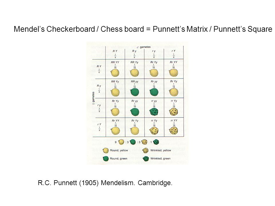 Mendels Checkerboard / Chess board = Punnetts Matrix / Punnetts Square R.C.