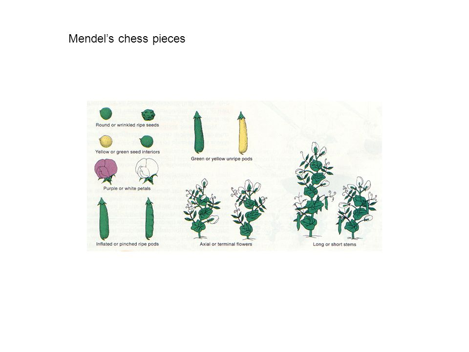 Mendels chess pieces