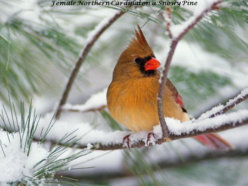 Female Northern Cardinal on a Snowy Pine