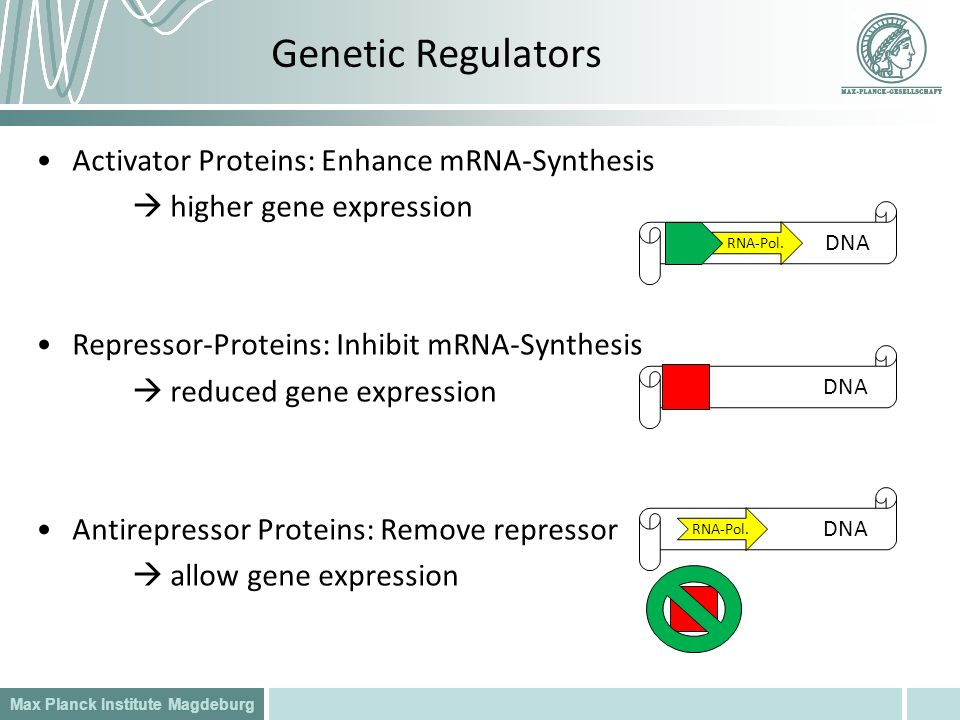 Max Planck Institute Magdeburg Activator Proteins: Enhance mRNA-Synthesis higher gene expression Repressor-Proteins: Inhibit mRNA-Synthesis reduced ge