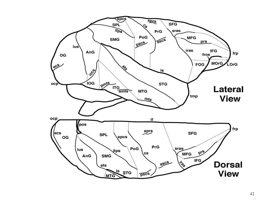 41 Cerebral Cortex