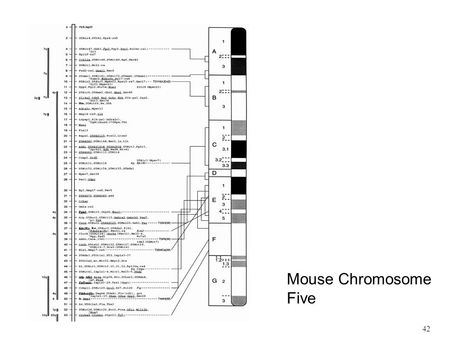 42 Mouse Chromosome Five