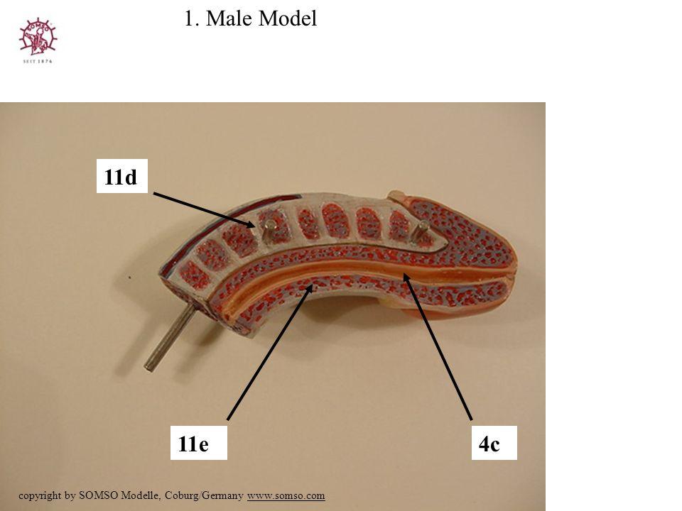 4c 1. Male Model copyright by SOMSO Modelle, Coburg/Germany www.somso.com 11d 11e