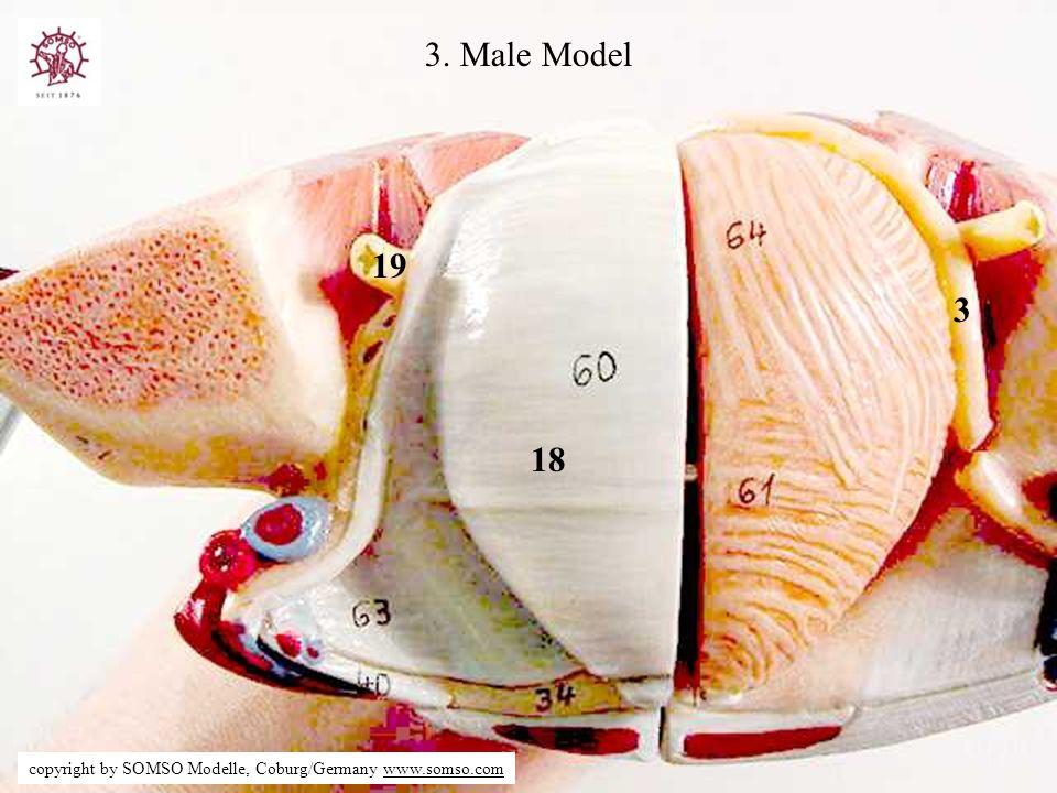 18 19 3 3. Male Model copyright by SOMSO Modelle, Coburg/Germany www.somso.com