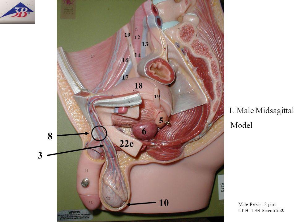 12 13 19 18 19 5 6 3 1. Male Midsagittal Model 22e Male Pelvis, 2-part LT-H11 3B Scientific® 10 8 14 16 17