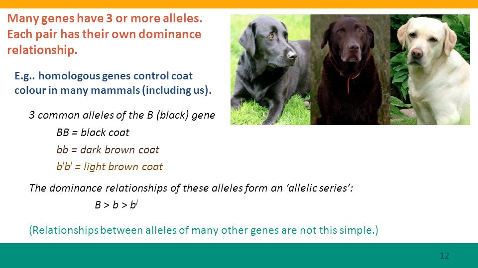 E.g.. homologous genes control coat colour in many mammals (including us). 3 common alleles of the B (black) gene BB = black coat bb = dark brown coat