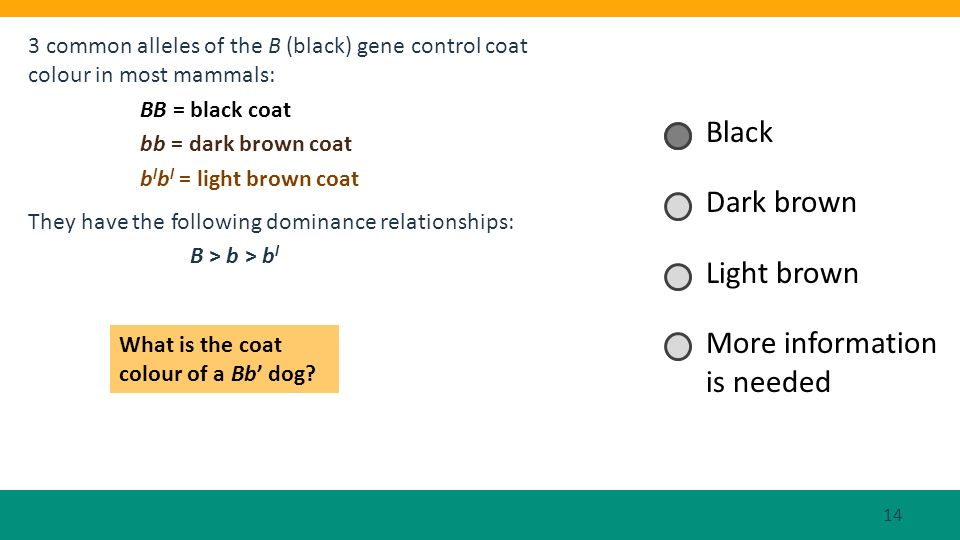 3 common alleles of the B (black) gene control coat colour in most mammals: BB = black coat bb = dark brown coat b l b l = light brown coat They have
