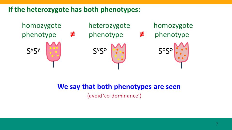 If the heterozygote has both phenotypes: S y S y S y S o S o S o homozygote heterozygote homozygote phenotype phenotype phenotype (avoid co-dominance)