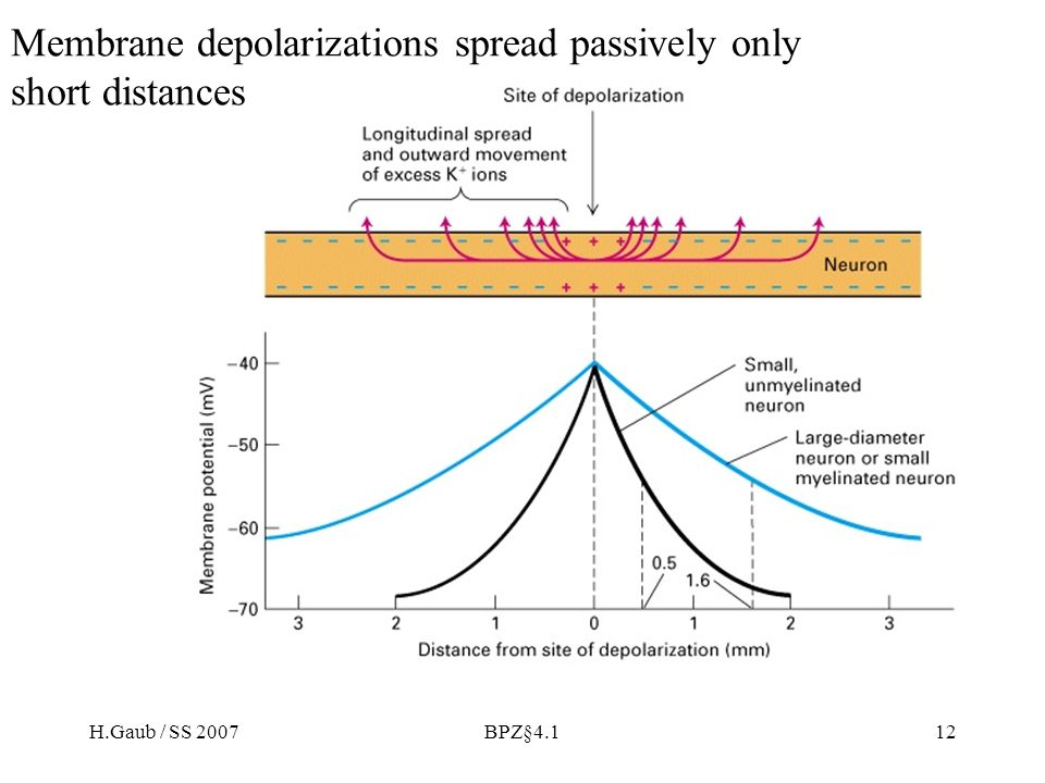 H.Gaub / SS 2007BPZ§4.112 Membrane depolarizations spread passively only short distances