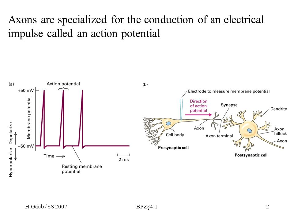 H.Gaub / SS 2007BPZ§4.133 Chemical synapses can be excitatory or inhibitory
