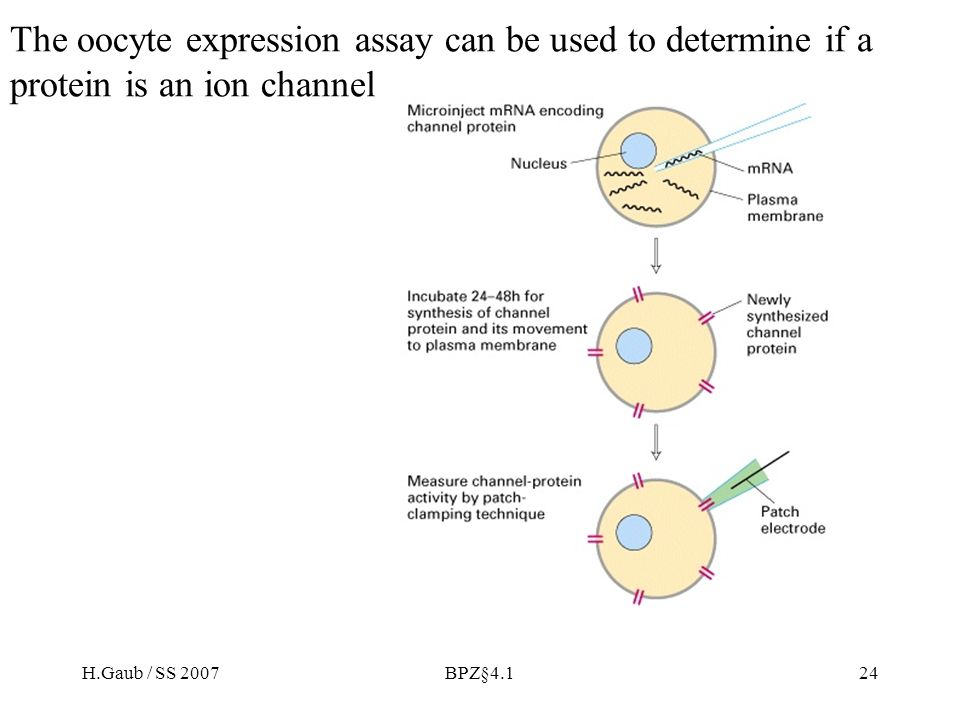 H.Gaub / SS 2007BPZ§4.124 The oocyte expression assay can be used to determine if a protein is an ion channel