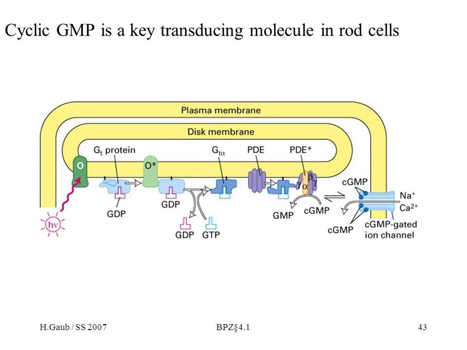 H.Gaub / SS 2007BPZ§4.143 Cyclic GMP is a key transducing molecule in rod cells