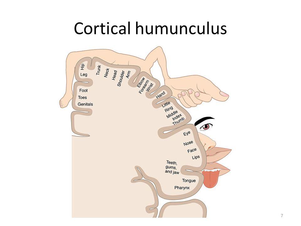 Cortical humunculus 7
