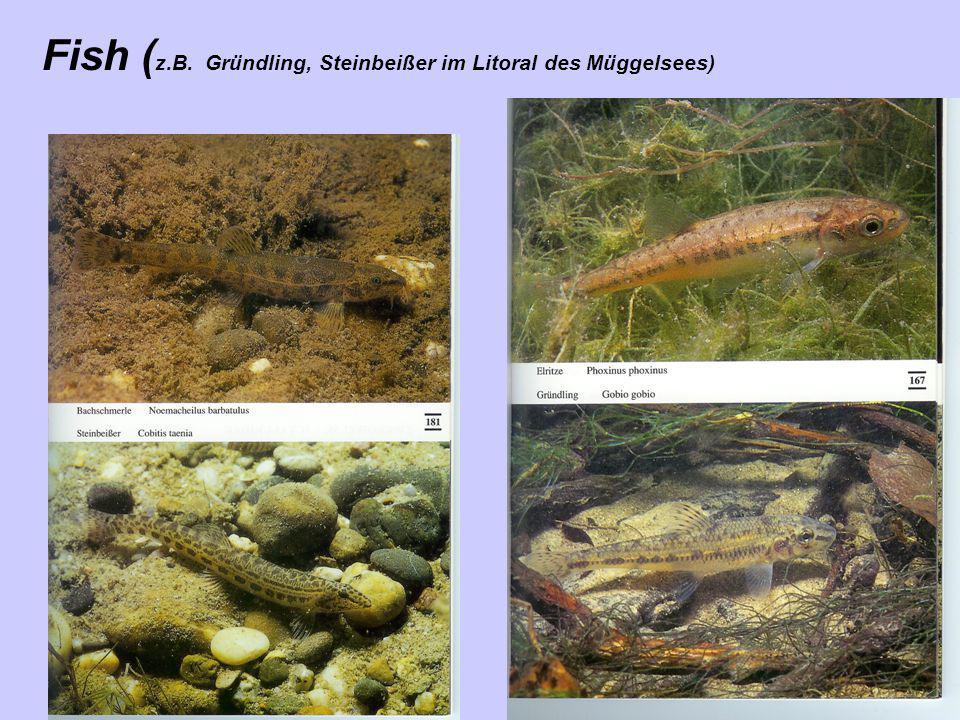 Fish ( z.B. Gründling, Steinbeißer im Litoral des Müggelsees)